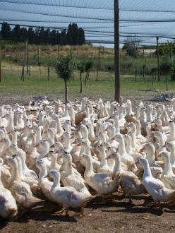 foie-gras-collverd